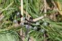 Male Twelve-spotted Skimmer at Rest