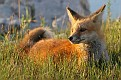 June Red Fox Series #30