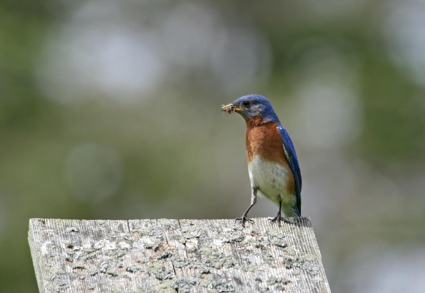 Male Bluebird #25