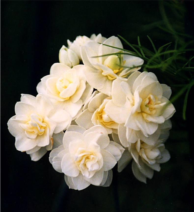daffodil ehrlicheer 8 12 03 -2b