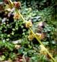 Agrimonia eupatoria  (10)