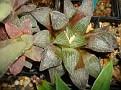 Haworthia pygmaea -IB2840