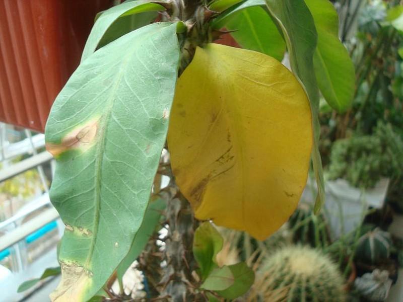 Σάπισμα - Αντιμετωπίζεται μονο αν το αντιληφθούμε έγκαιρα - καθάρισμα του σαπίσματος η κόψιμο του φυτού αν είναι στην βάση του  (1)
