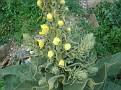 Verbascum (6)