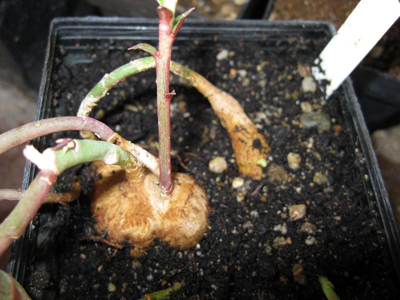 Monadenium montanum (11)