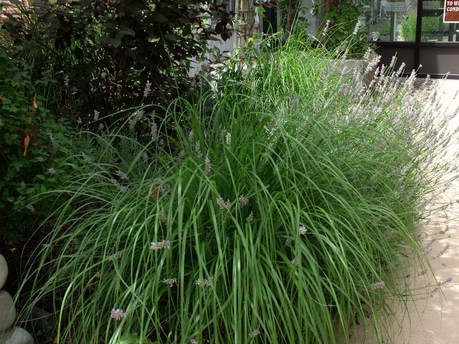 grasses with lavender