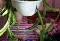 Stapelia grandifloris (seed pod)
