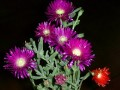 Lampranthus sp