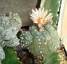 Astrophytum asterias hybrid