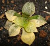 Haworthia picta variegata Japanese hybrid (9)