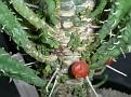 Viscum minimum on Euphorbia polygona