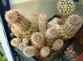 Echinocereus palmeri