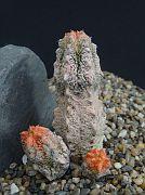 Euphorbia abdelkuri 'damask'