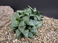 Haworthia 'Green Haze Daruma'