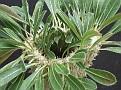 Pachypodium densiflorum Round-Crest