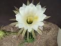 Echinopsis bridgesii
