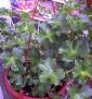 Pelargonium 005