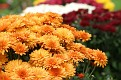 Colorful Chrysanthemum Groups