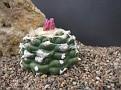 Lophophora frikii fa. variegata