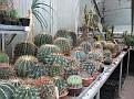 558 Big Ferocactus for sale