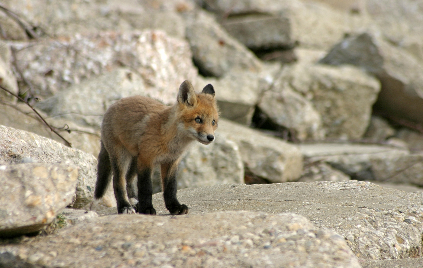 Red Fox Series #13