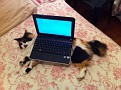 Laptop cat