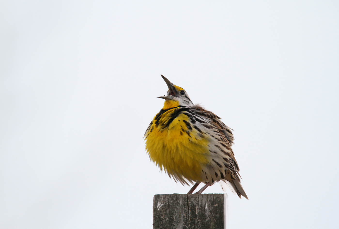 Eastern Meadowlark #20
