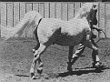 SUR-BO #9705 (Sureyn x Bonita, by Caravan) 1954 grey stallion Full brother to National Champion SURITA