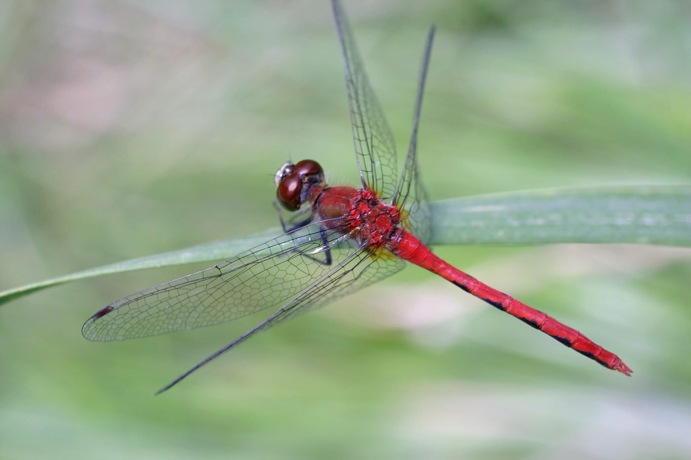 White-faced Meadowhawk 24
