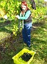 Grape Picking at Natali's Vineyard 10-21-09 (11)