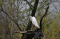 Spring Egret #9