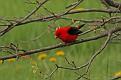 Scarlet Tanager #5