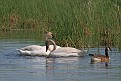 Trumpeter Swans #6