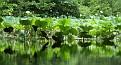 Lotus Reflection #3
