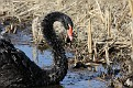 Black Swan #2