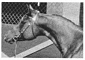 SHALIMAR DRIFTER #47087 (Garaff x Shalimar BestGida, by Orbit) 1968 chestnut stallion bred by Dr & Mrs Bill Munson; sired 18 registered purebreds