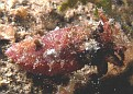 Very Small Bobtail Cuttlefish