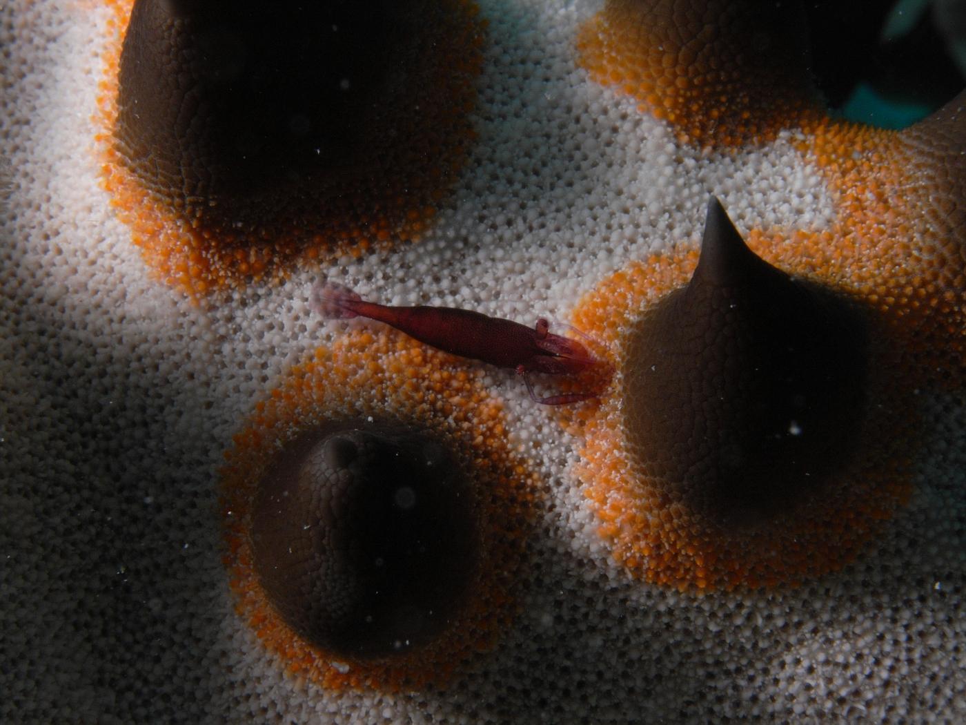 Shrimp on Lumpy Starfish