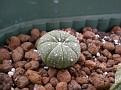 Astrophytum asteras