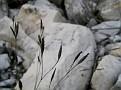Dianthus serratifolius (5)