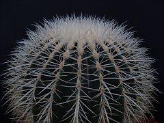 Echinocactus grussonii fa. albispina