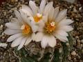 Tubinicarpus sp. Negrita, seed 6-`97