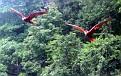 Scaerlett Macaws