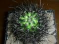 Eriosyce senilis ( Neoporteria senilis )