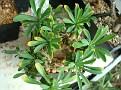 Euphorbia 'Cocklebur'