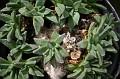 Nananthus jamesii