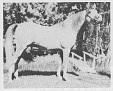 M-TORRONO #64566 (Tornado x Kisronna, by Faronek) 1970 grey stallion bred by EM & Tiare Arndt; sired 13 registered purebreds