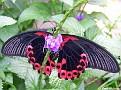 ScarletMormonButterfly001