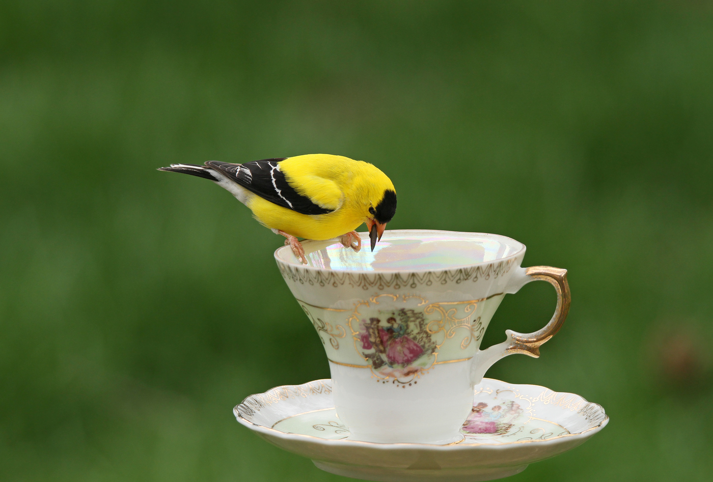 Goldfinch Teacup #6