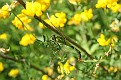 Female Pondhawk and Gold Flowers